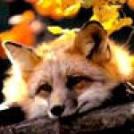 foxy-tan