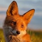Stella-Fox